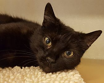 Domestic Shorthair Cat for adoption in Grayslake, Illinois - Spring