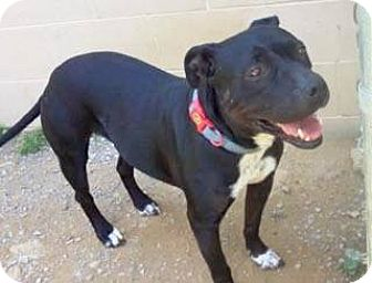 Pit Bull Terrier/Dachshund Mix Dog for adoption in Woodbridge, Virginia - Tia