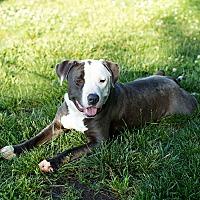 Adopt A Pet :: Baloo - Des Peres, MO