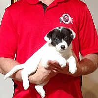 Adopt A Pet :: Brandy - Gahanna, OH