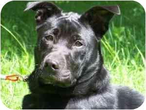 Shar Pei/Labrador Retriever Mix Dog for adoption in Berea, Ohio - Alice