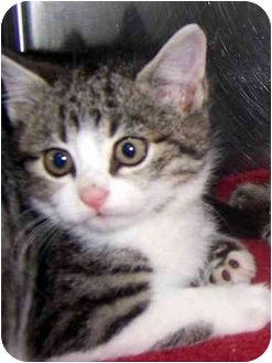 Domestic Mediumhair Kitten for adoption in Oklahoma City, Oklahoma - Carol