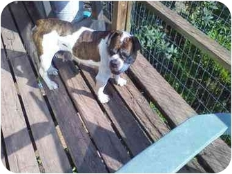 English Bulldog Dog for adoption in Hedgesville, West Virginia - Courage
