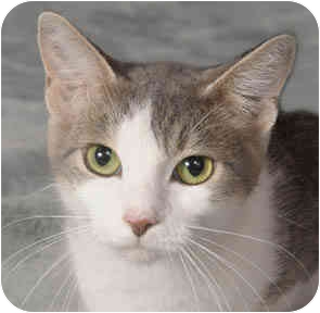 Domestic Shorthair Cat for adoption in Chicago, Illinois - Bree