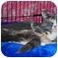 Photo 1 - Calico Kitten for adoption in Colmar, Pennsylvania - Muffin