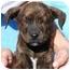 Photo 1 - Labrador Retriever/Plott Hound Mix Puppy for adoption in Broomfield, Colorado - Tango