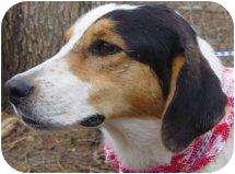 Foxhound/Treeing Walker Coonhound Mix Dog for adoption in Antioch, Illinois - DaVinci LOVING, WELL BEHAVED