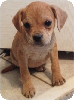Pug/Terrier (Unknown Type, Small) Mix Puppy for adoption in Cranford, New Jersey - Penny
