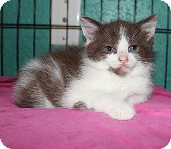 American Shorthair Kitten for adoption in Spring Valley, New York - Mosby