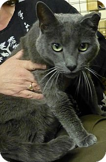 Russian Blue Cat for adoption in Quincy, California - Professor
