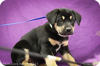 Shepherd (Unknown Type)/Labrador Retriever Mix Puppy for adoption in Broomfield, Colorado - Nova