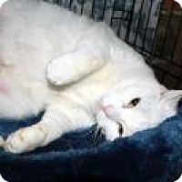 Domestic Shorthair Cat for adoption in St. Louis, Missouri - Chrissy