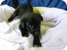 Labrador Retriever Mix Puppy for adoption in Waldorf, Maryland - Scurry