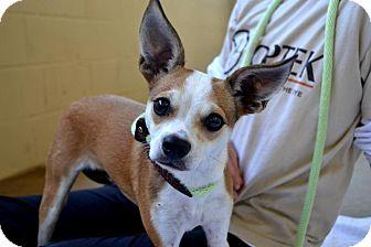 Italian Greyhound/Terrier (Unknown Type, Small) Mix Dog for adoption in Flower Mound, Texas - Acorn