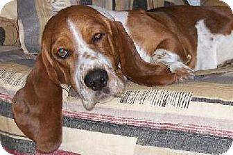 Basset Hound Dog for adoption in Grapevine, Texas - Augustus