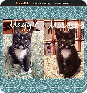 Domestic Shorthair Kitten for adoption in Dallas, Pennsylvania - Morgan&Maggie