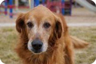 Golden Retriever Mix Dog for adoption in Denver, Colorado - Beatrice