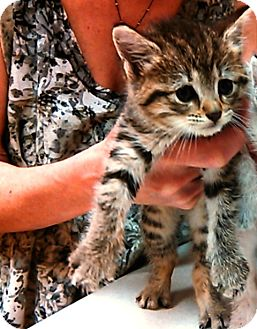 American Shorthair Kitten for adoption in Radford, Virginia - Ivy