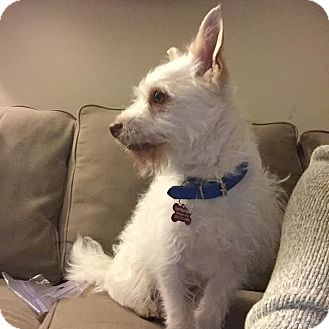 Terrier (Unknown Type, Small)/Wirehaired Fox Terrier Mix Dog for adoption in Encino, California - Herman
