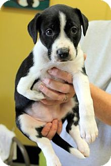Beagle/Basset Hound Mix Puppy for adoption in Philadelphia, Pennsylvania - Clover