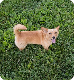 Chihuahua/Cairn Terrier Mix Dog for adoption in Fairfax, Virginia - Daphne