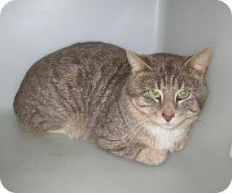 Domestic Shorthair Cat for adoption in Cumming, Georgia - Jackson