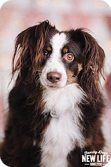 Australian Shepherd Dog for adoption in Portland, Oregon - Kona