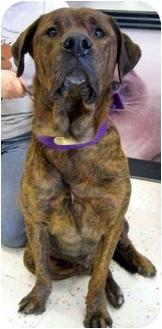 Mastiff/Labrador Retriever Mix Dog for adoption in Overland Park, Kansas - Ty
