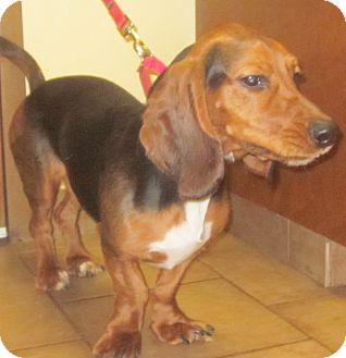 Basset Hound Dog for adoption in Barrington, Illinois - Otis Spunkmyer