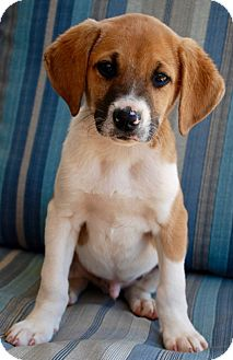 English (Redtick) Coonhound Mix Puppy for adoption in CUMMING, Georgia - Dillon