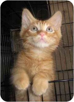 Maine Coon Kitten for adoption in Los Angeles, California - Twin Orange Tabbies