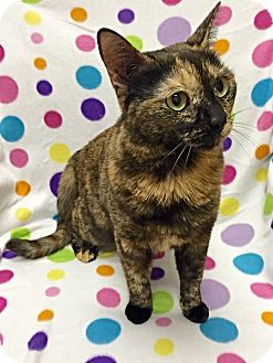 Domestic Shorthair Cat for adoption in Mission Viejo, California - Katherine