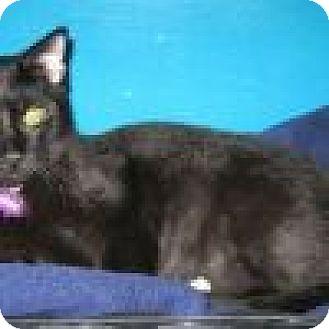 Domestic Shorthair Cat for adoption in Powell, Ohio - Kazzam