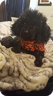 Poodle (Toy or Tea Cup) Dog for adoption in Grand Bay, Alabama - Kole