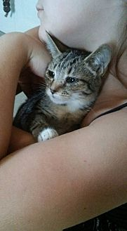 Domestic Shorthair Cat for adoption in Locust, North Carolina - Mittens