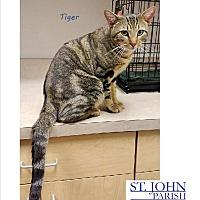 Adopt A Pet :: Tiger-Already Neutered - Laplace, LA