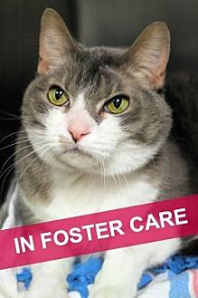 Domestic Shorthair Cat for adoption in Chicago, Illinois - Sassy