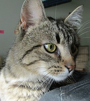 Domestic Shorthair Cat for adoption in Buhl, Idaho - Pickle