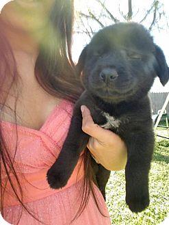 Labrador Retriever/Retriever (Unknown Type) Mix Puppy for adoption in Olympia, Washington - Nala E
