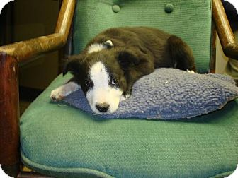 Border Collie Puppy for adoption in Pipe Creed, Texas - Mandy