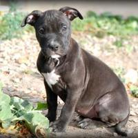 American Pit Bull Terrier Mix Dog for adoption in Riverton, Utah - DYLAN