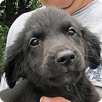 Adopt A Pet :: Scarlett - Germantown, MD