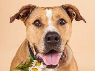 Mixed Breed (Large) Mix Dog for adoption in Longmont, Colorado - Daisy