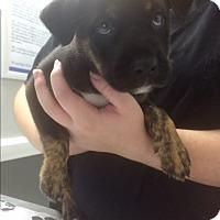 Adopt A Pet :: Karla - St. Louis, MO