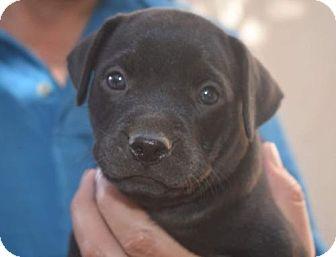 Labrador Retriever/Staffordshire Bull Terrier Mix Puppy for adoption in Dana Point, California - Harper