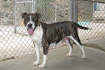 Boxer/Hound (Unknown Type) Mix Dog for adoption in Ruidoso, New Mexico - Mona