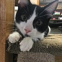 Adopt A Pet :: Ouija - Chippewa Falls, WI