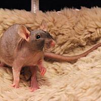Adopt A Pet :: Pretzel - Saanichton, BC