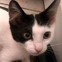 Adopt A Pet :: Sampras - Toronto, ON