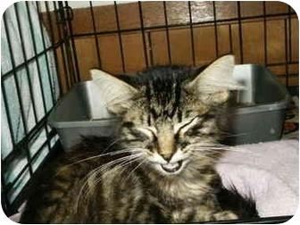 Domestic Mediumhair Kitten for adoption in Mason City, Iowa - Tuck